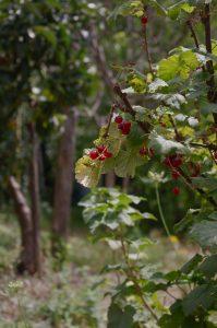 detail berries, Labastide Esparbairenque