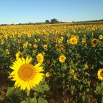 field of sunflowers, camino