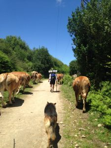 cows along the camino