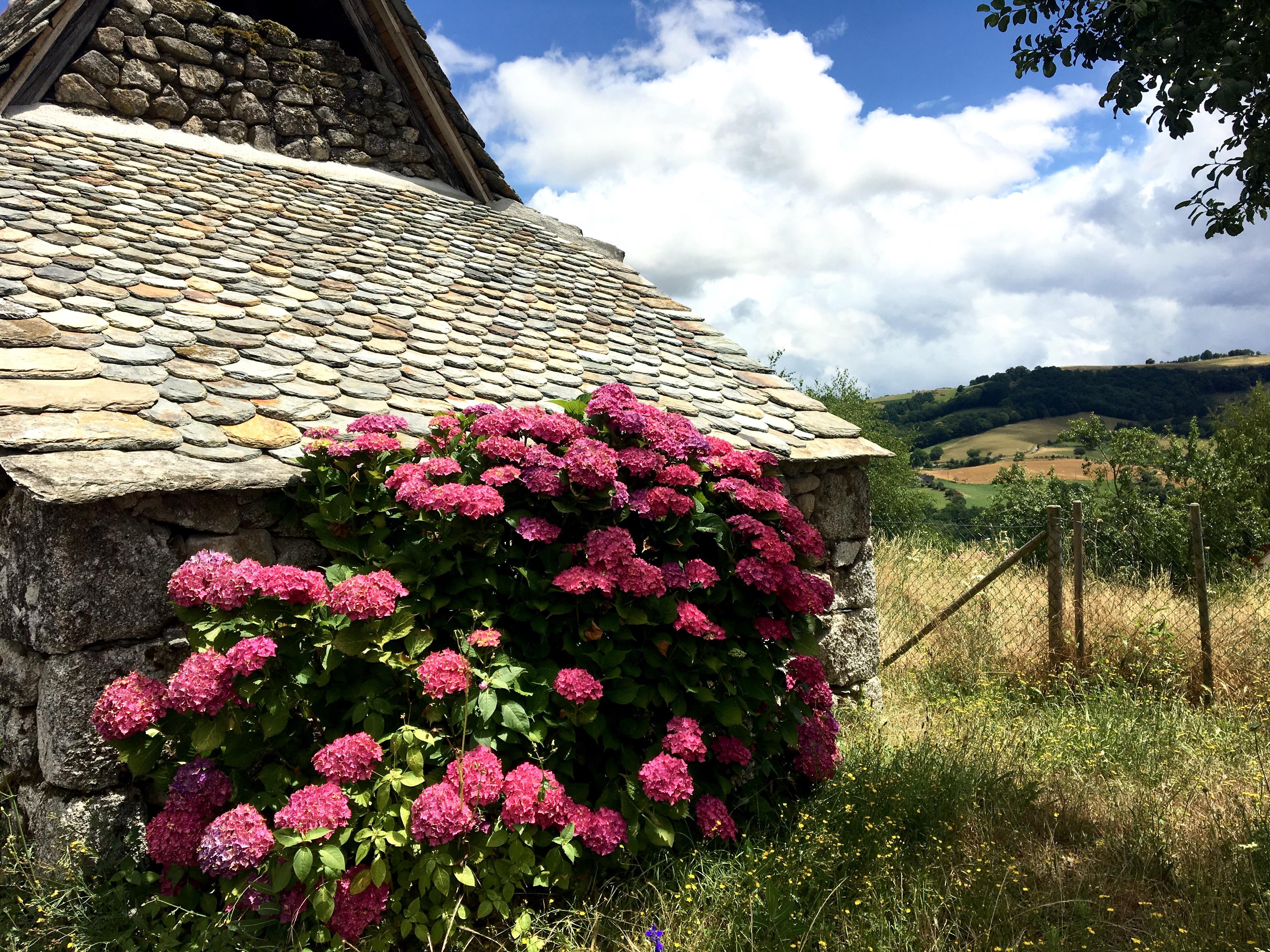 Hydrangea, Chemin du Puy