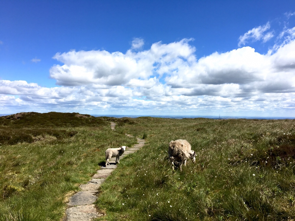 Sheep on slabs on the Pennine Way