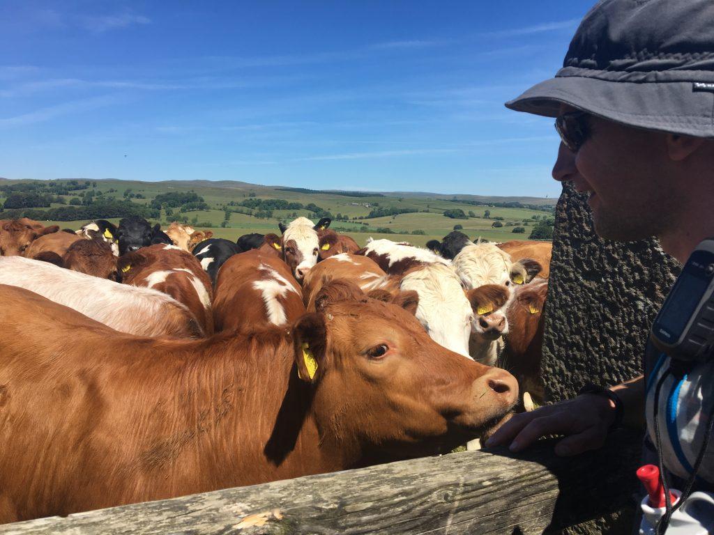 Field of bulls, Pennine Way