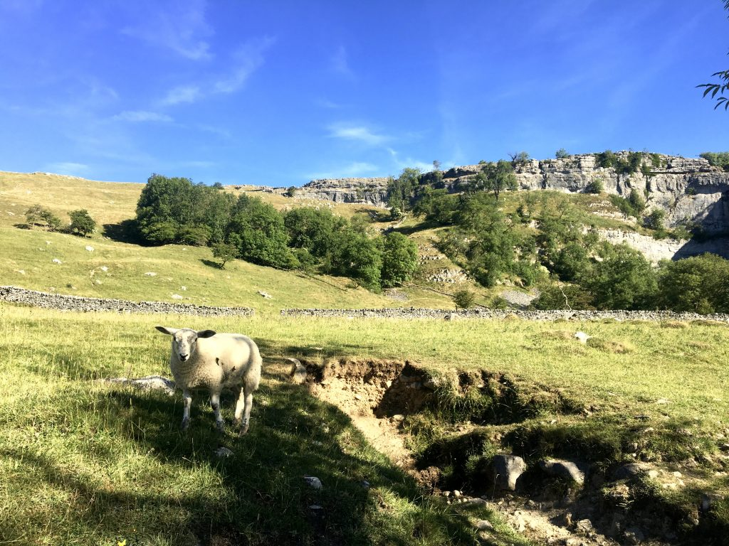 Sheep, Malham Cove, Pennine Way