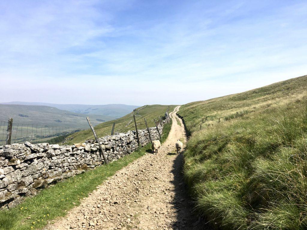 Path with sheep, Pennine Way