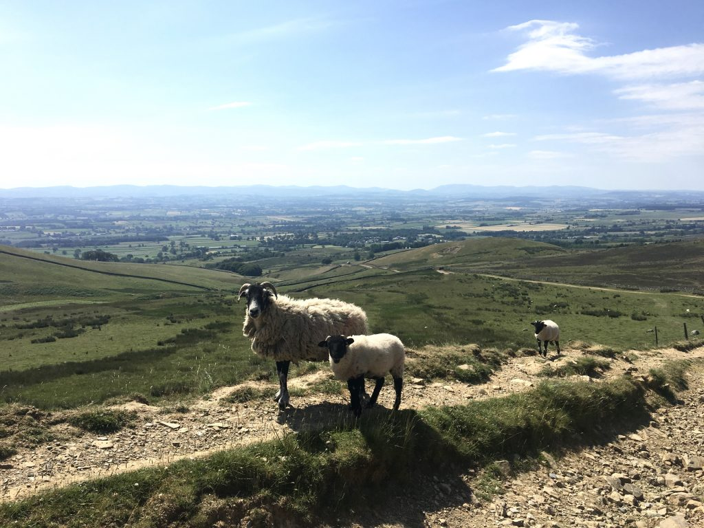 Sheep on the descent to Dufton, Pennine Way