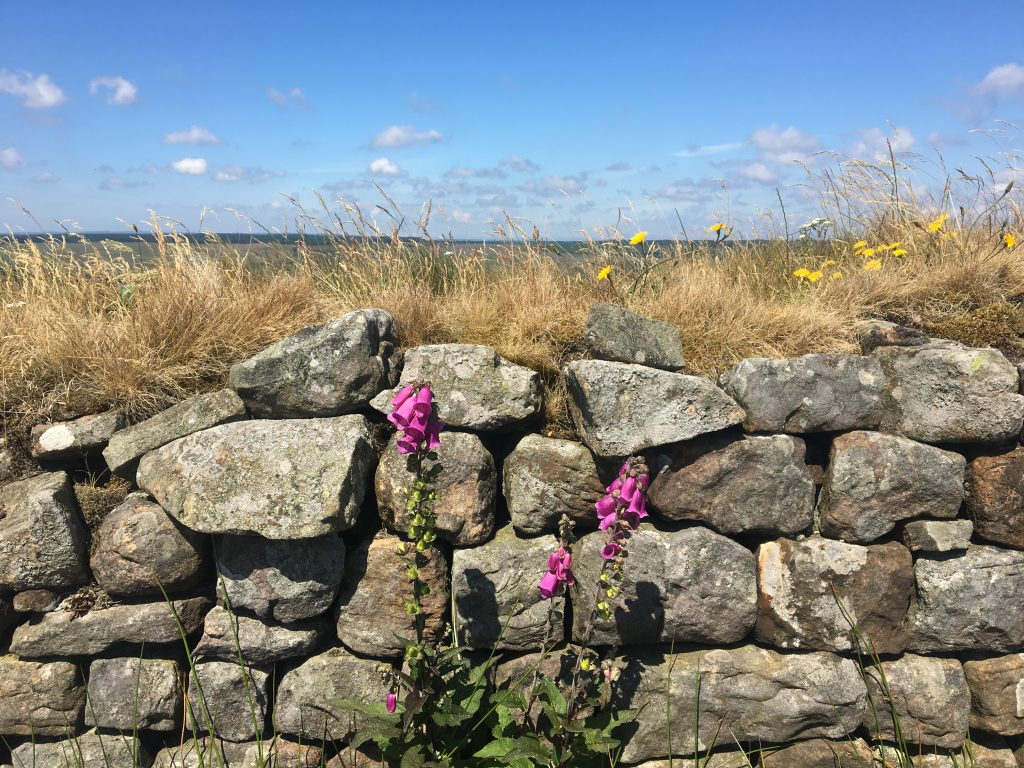 Wildflowers on Hadrian's Wall, Day 13 on the Pennine Way