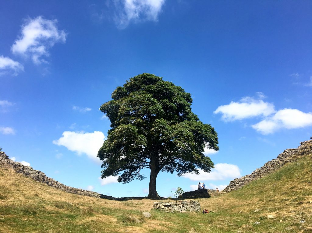 The Robin Hood Tree, Sycamore Gap, Hadrian's Wall