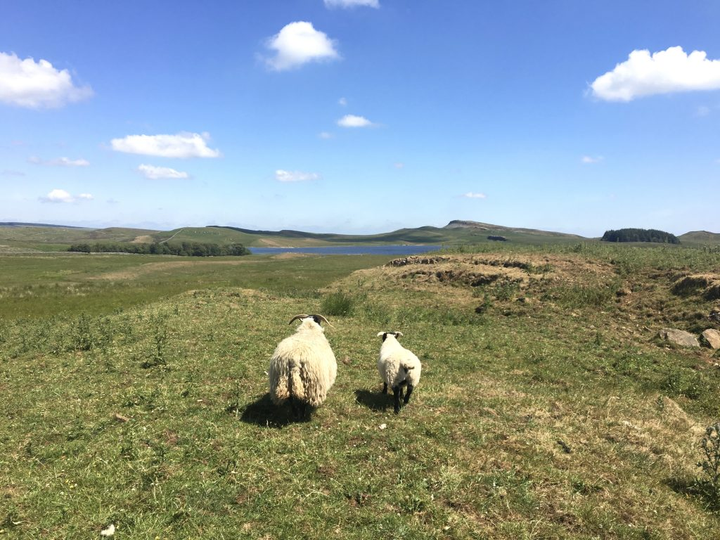 Sheep and lamb on the Pennine Way