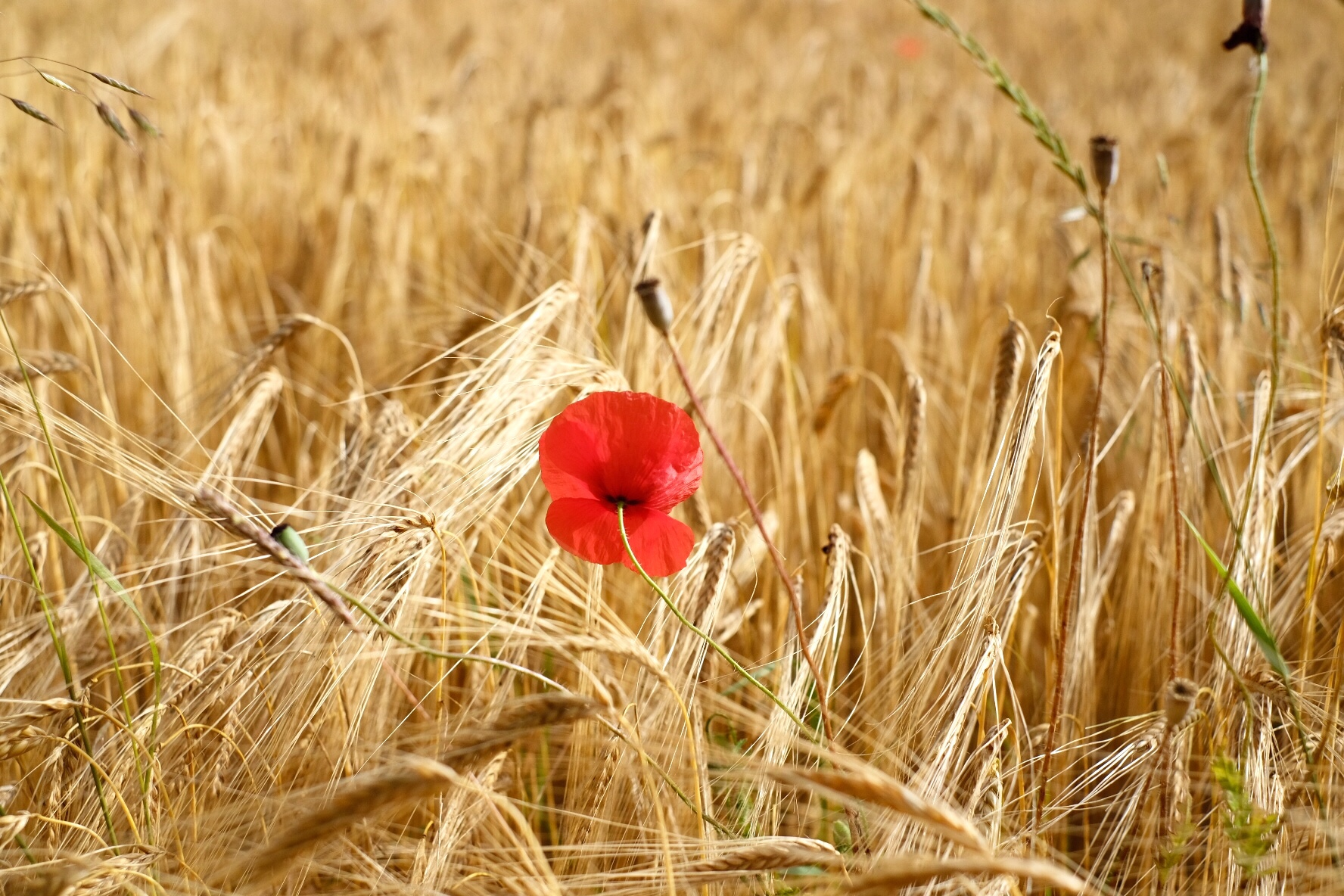Red poppy in a wheat field, Camino Aragones