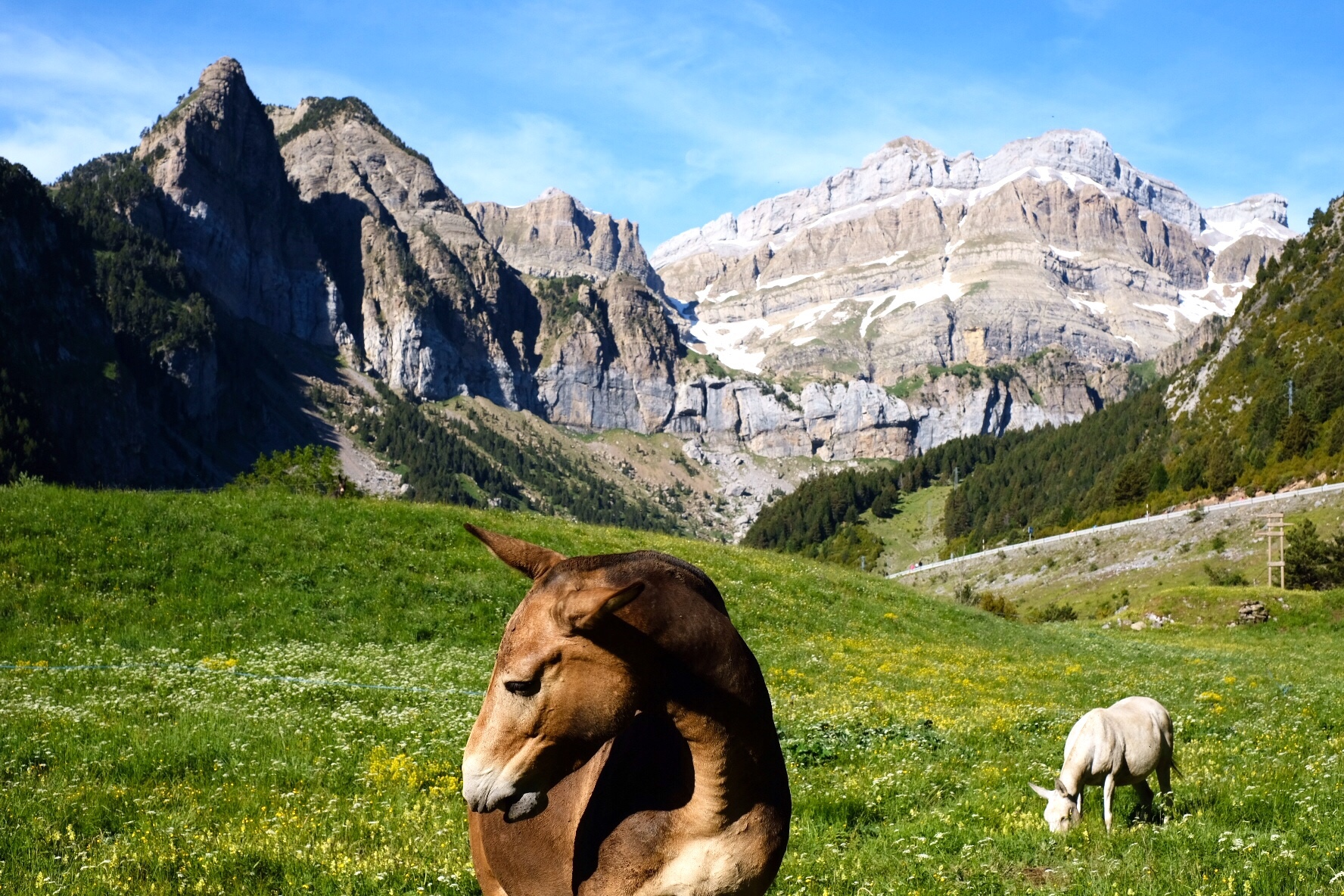 A mule in the Pyrenees, Camino Aragones
