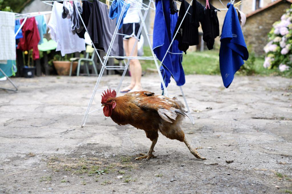 Strutting rooster at Caserió Pozueta, Camino del Norte