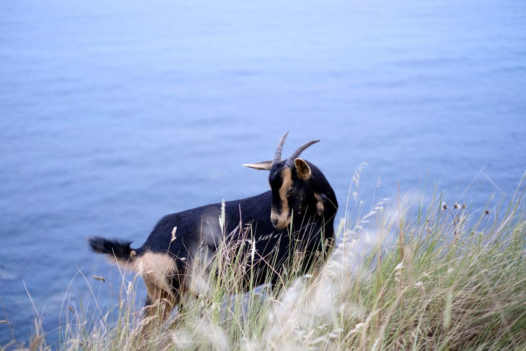 15 photos that will make you fall in love with the Camino del Norte; goat on coast