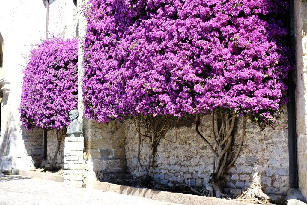 Bougainvillea on church in Llanes, Camino del Norte