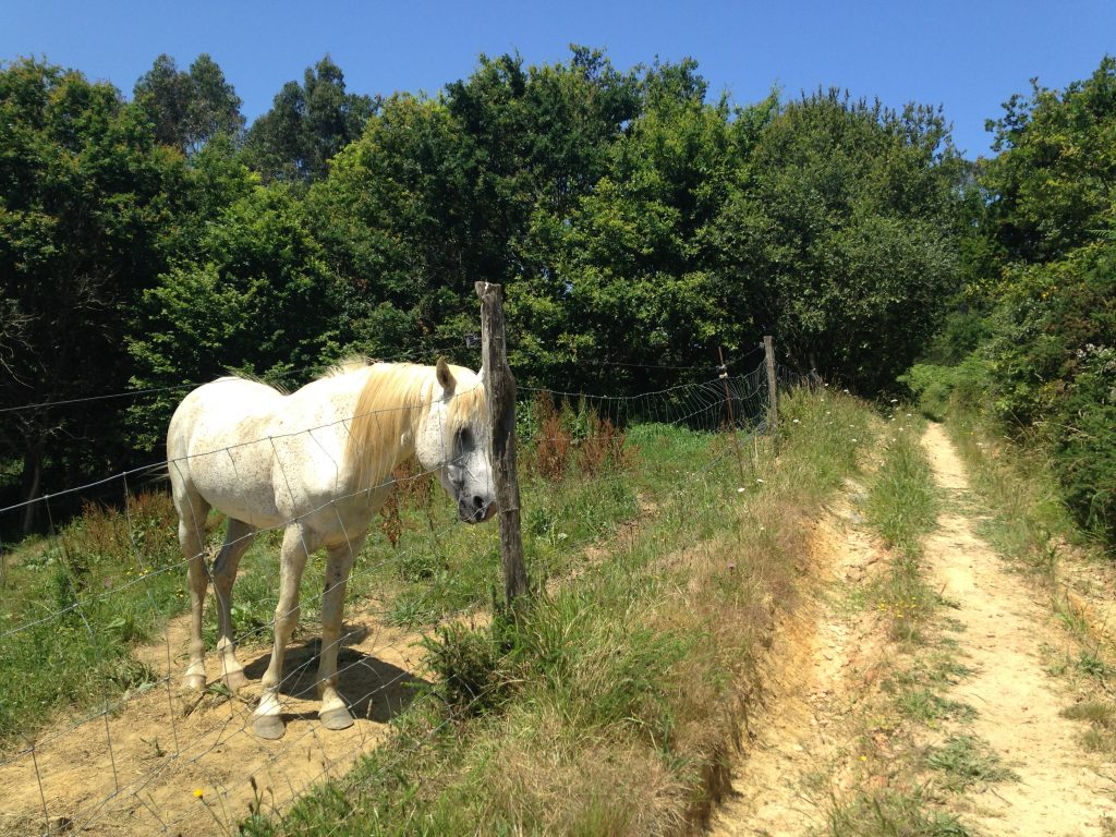 White horse on the Camino del Norte