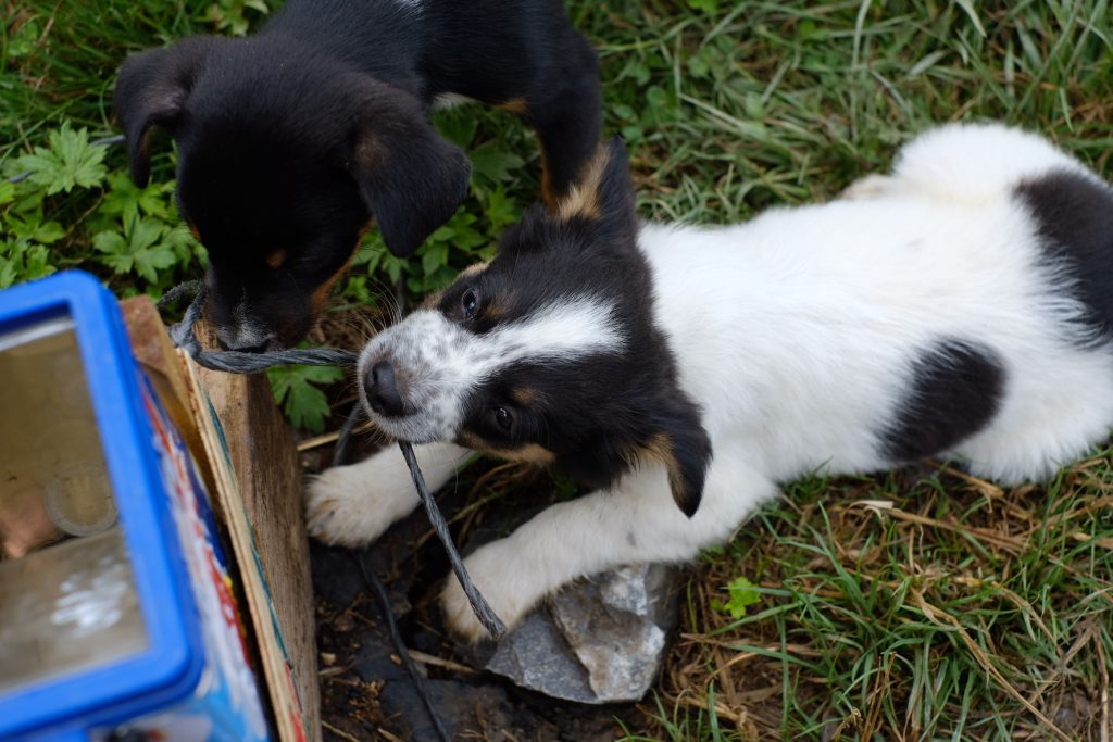 Puppies playing on the Camino del Norte