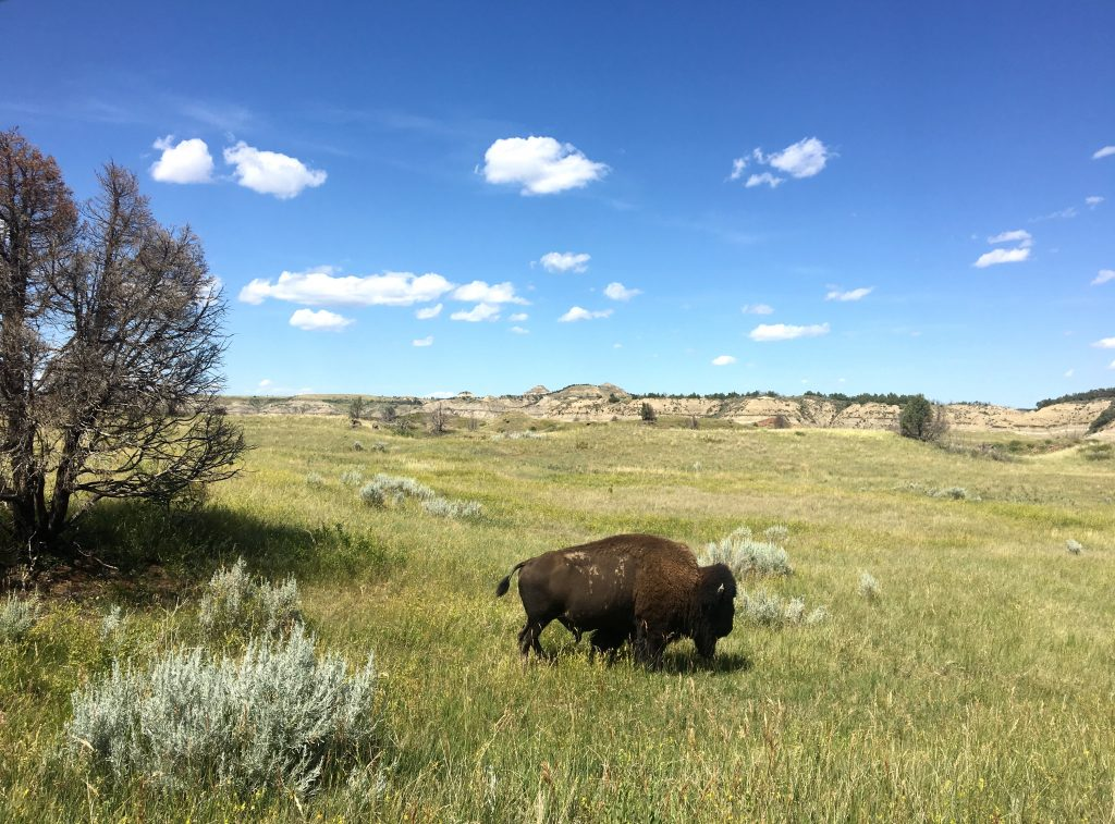 Bison in Theodore Roosevelt National Park, ND