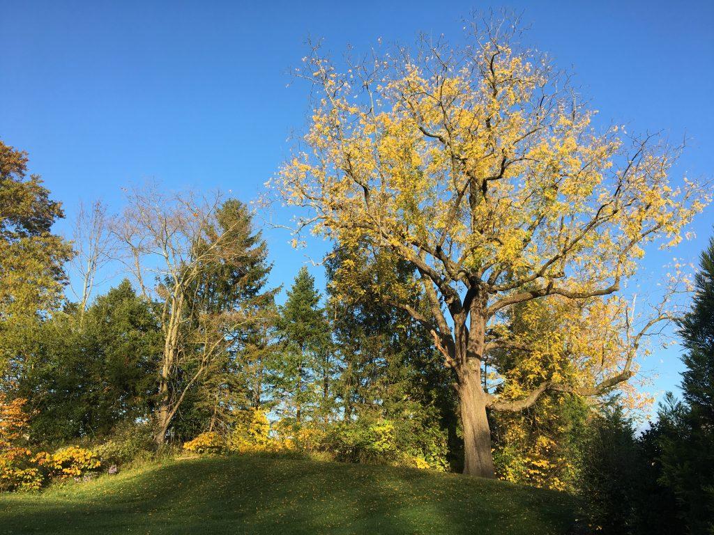 Majestic fall tree, southeastern PA